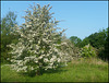 may tree in spring