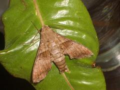 TB043 Perigonia lusca - 6784