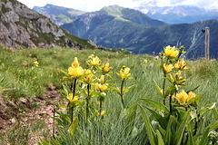 Gelber Tüpfelenzian  (Pic in Pic)