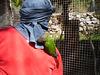 Ring neck parrot enjoying a ride on his handler.