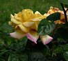 rosa della pace