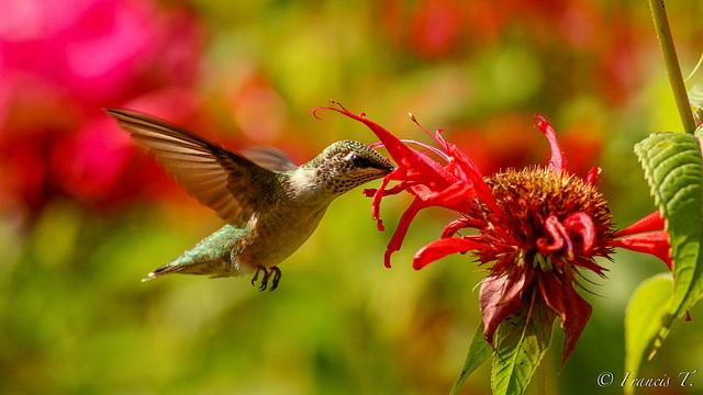 Joli colibri !