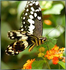 Ritterfalter (Papilio demoleus)  ©UdoSm