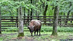 Zubroń in Białowieża National Park