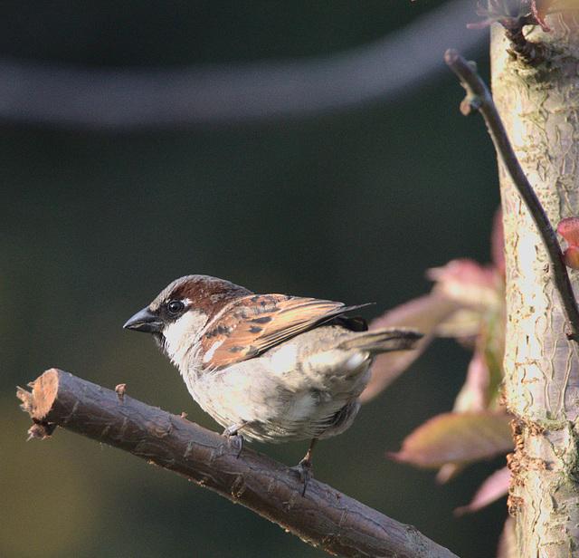 Sparrow EF7A0561