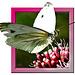 Großer Kohlweißling (Pieris brassicae)   ©UdoSm