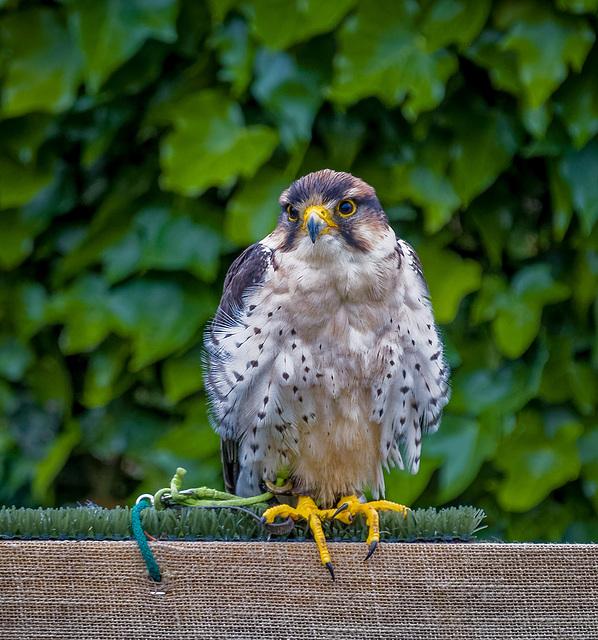 Cheshire Falconry22