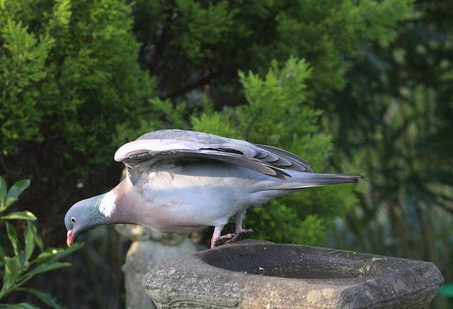 Pigeon EF7A0555