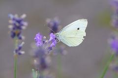 Kleiner Kohlweißling an Lavendel