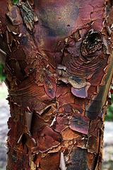 La magnifique écorce d'un Acer griseum