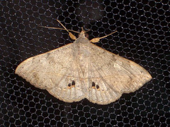 TB047 Anticarsia gemmatalis - 6814b