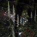 Spiranthes odorata (Fragrant Ladies'-tresses orchid)