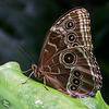 Victoria's Butterfly Gardens, Part 2: Blue Morpho and More! (+9 insets)