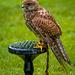 Cheshire falconry25