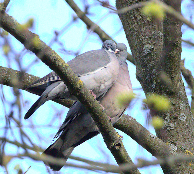 Pigeon EF7A0521
