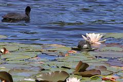 Junges Blesshuhn surft auf einem Seerosenblatt