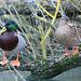 EOS 6D Peter Harriman 11 36 40 57847 ducklington dpp