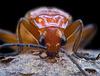 Cardinal Beetle Portrait