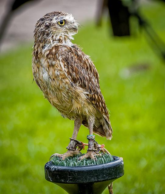 Cheshire falconry26