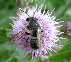 Mining Bee. Andrena cineraria
