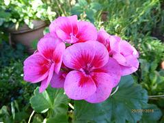 fleurs du jardin pour l'AUDE