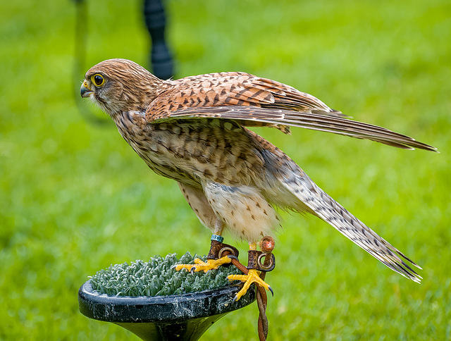 Cheshire falconry27