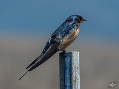 Lovely Barn Swallow + Checking In!