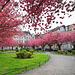 Japanische Kirschblüte am Alexianerplatz in Krefeld, Germany