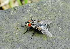 Flesh Fly. Sarcophaga carnaria