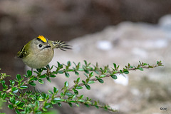The orchard Goldcrest