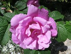 Rose de Saint-Julien, Ardèche (France)