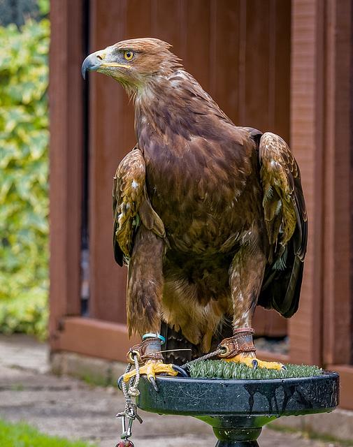 Cheshire falconry28