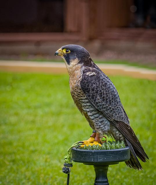 Cheshire falconry29
