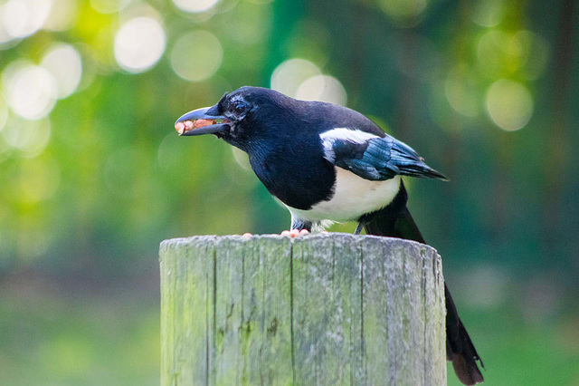 Magpies seem to collect the nuts.