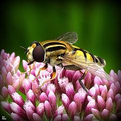 Je suis une mouche (Helophilus trivittatus)