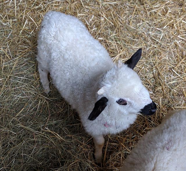 Y like YOUNG lamb