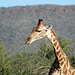 Namibia, Erindi Game Reserve, Such a Long Neck in a Giraffe