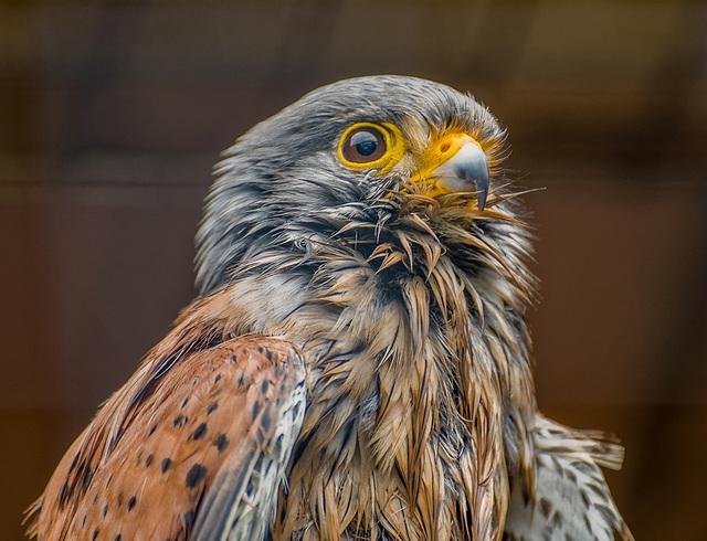 Cheshire falconry32