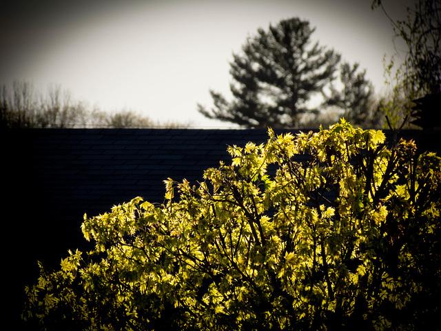 Des feuilles dorées....