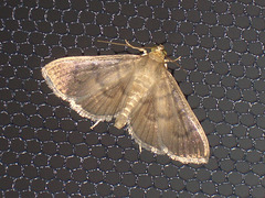 TB055 Pleuroptya silicalis [T] - 6612