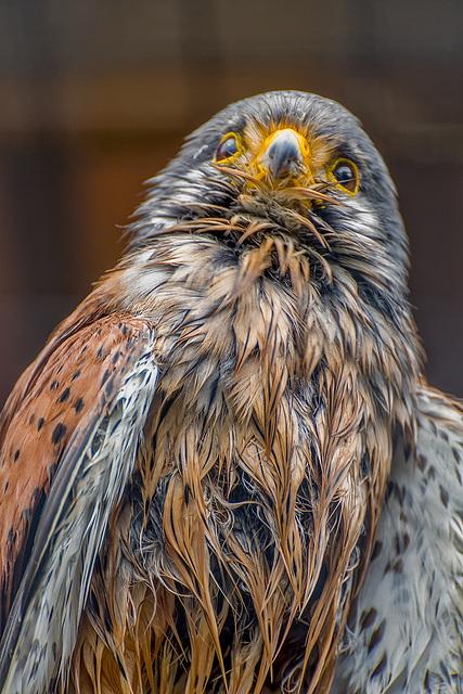 Cheshire falconry33