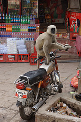 Monkey on a Motorcycle