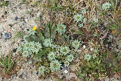 Evax pygmaea (Filago pygmaea) ? - 2016-04-25_D4_ DSC6654