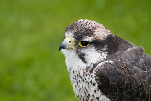 Chester cathedral falconry