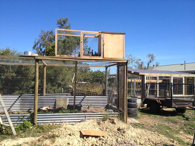 guinea fowl training coop