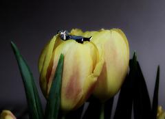 Tulipankämpfer ;)