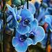 1T0A714- Phalaenopsis bleus- bleu et rose (PIP)