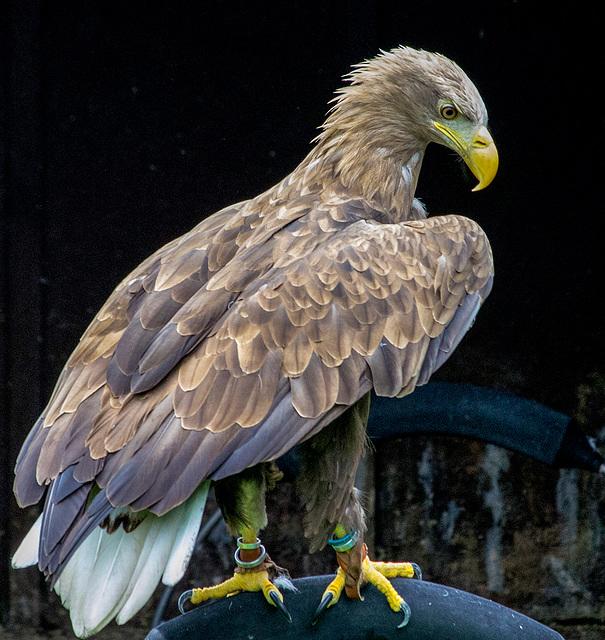 3 golden eagle