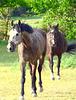Zwei Pferde auf der Koppel