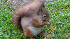 Dawn breakfast for Red Squirrel